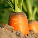 karotte, starkzehrer, schwachzehrer, mittelzehrer, kompost, erde, komposterde, nährstoffe,