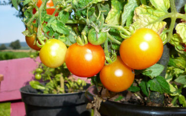 tomaten,tomatentopf,blumentopf,erde,gemüsepflanzen,topf,hochbeeterde,verwenden